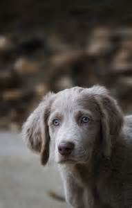 Long Hair Weimaraner Dogs