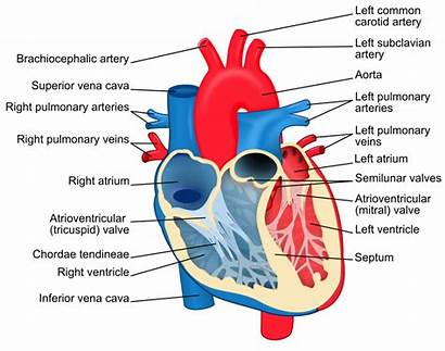 Heart Diagram Blood Human Oxygenated Components Valve