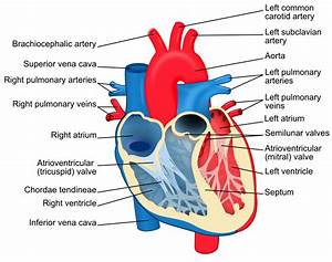 Heart Diagram With Labels In English  Blue Components