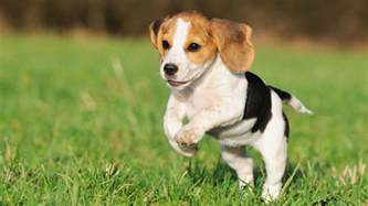 No Shedding Dog Breeds Small Dogs by Beagle Information Characteristics Facts Names