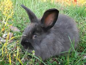 Black French Angora Rabbit