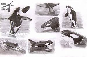 Image Gallery orca pencil drawings