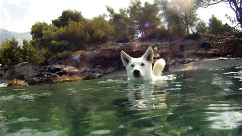 bon swimming swiss white shepherdsiberian husky mix