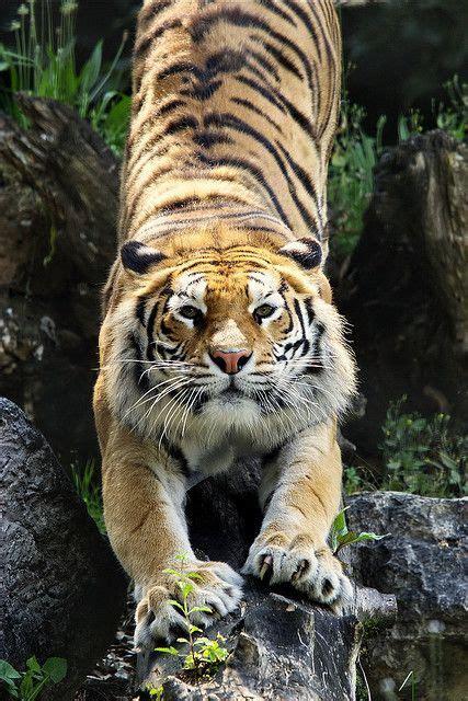 besten beautiful tigers leopards bilder auf