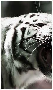 white tiger wallpapers - HD Desktop Wallpapers | 4k HD