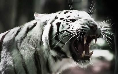 Tiger Wallpapers 4k Desktop