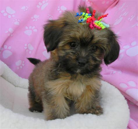 Non Shedding Dog Breeds Small  Dog  Pet Photos Gallery