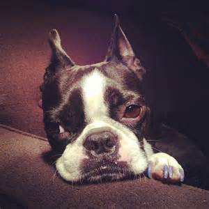 A Little Sad Boston Terrier