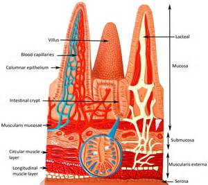 Anatomy Models Labeled Small Intestine