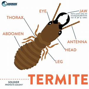 Another Type Of Termite Is The Soldier Termite  They