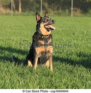 Stock Photo of Blue heeler dog sitting - Black and tan ...