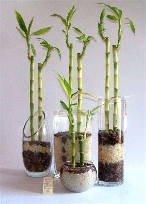 canna da giardino canne di bambu piante da giardino caratteristiche