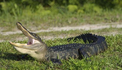 types  alligators sciencing