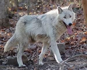 White Wolf Husky Hybrid