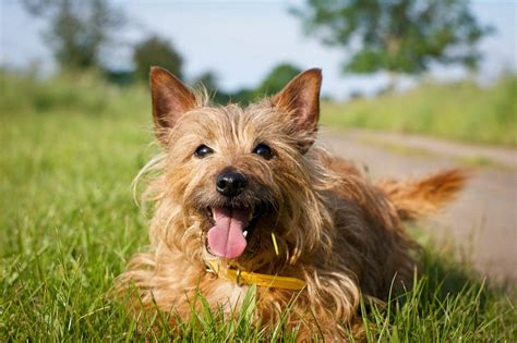 australian terrier history personality appearance