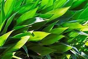 Canna Blüten Abschneiden : indisches blumenrohr canna pflanzen pflege und vermehren ~ Lizthompson.info Haus und Dekorationen