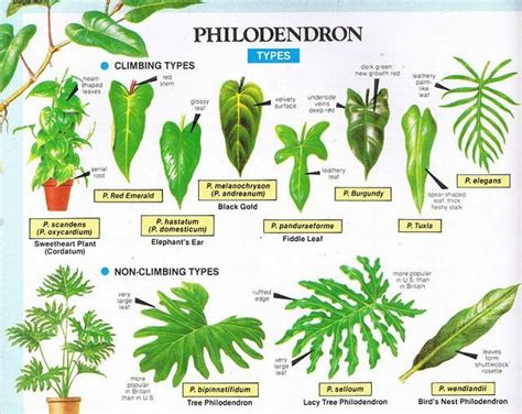 philodendron types garden plants outdoor plants