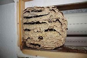 Wespen Im Rolladenkasten Entfernen : hornissen im dach im rolladen oder in d mmschichten ~ Frokenaadalensverden.com Haus und Dekorationen