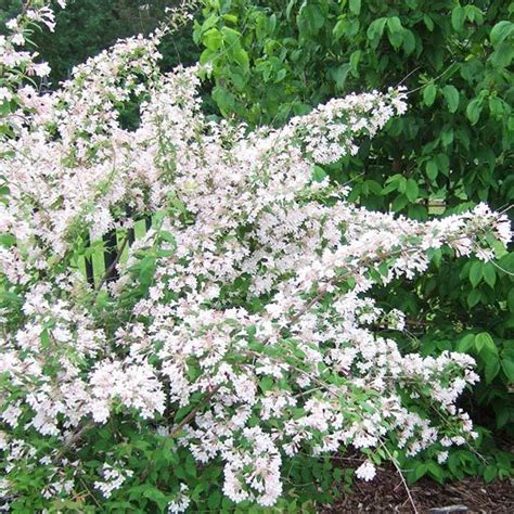 flowering shrubs zone 9 flowering shrub partial shade