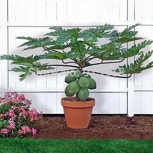 Fruit seeds RARE20+Seed)Dwarf hovey Papaya Tree Plant ...
