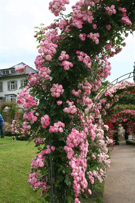 rose raubritter kaufen rosen frisch aus der baumschule