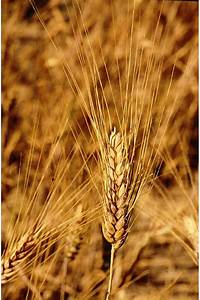 Barley Introduction