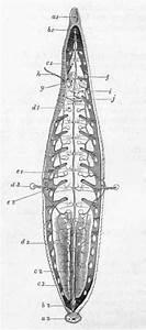 Plate XIII. Figure Of Medicinal Leech (Hirudo Medicinalis)
