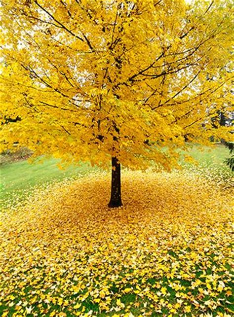 tree with yellow leaves in fall best 25 yellow tree ideas on pinterest aspen trees fall trees and tree house homes