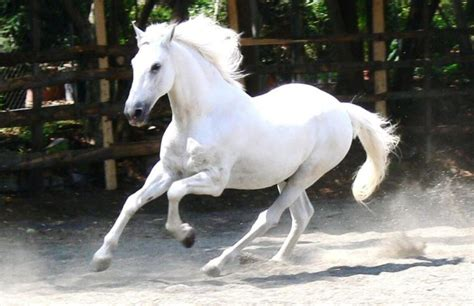 andalusian horse horses spanish breed pure war facts information hd april petworlds