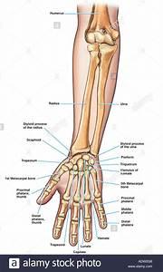 Anatomy Of The Forearm  Arm  And Hand Bones Stock Photo