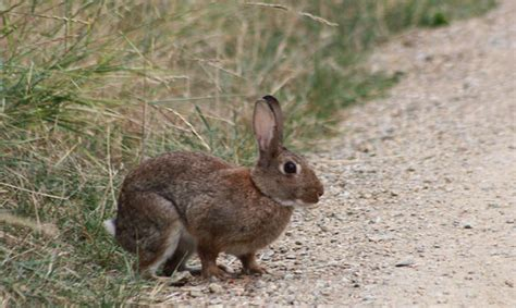 cuisiner le lapin de garenne lapin de garenne balade randonnée près de chez vous