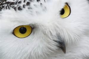 THE SNOWY OWL The Garden of Eaden