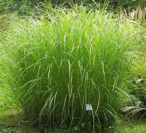 grass plants japanese silver grass sarabande miscanthus thetreefarm com