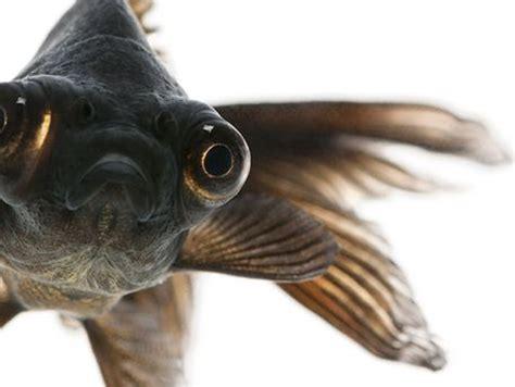 black moor goldfish goldfish   attitude blackmoor