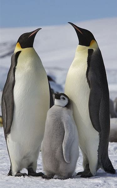 space pictures reveal  emperor penguins  antartica