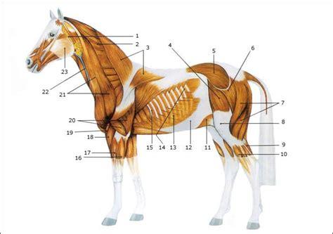 pferde anatomie muskeln haustier pinterest