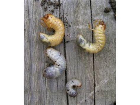 vers blanc dans la maison ver blanc ou larve de hanneton