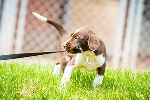 training tips walking your puppy on the lead