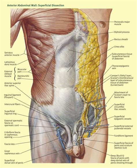 anatomy  abdominal incisions surgery oxford