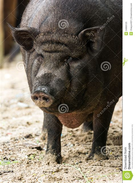 black pig closeup stock  image