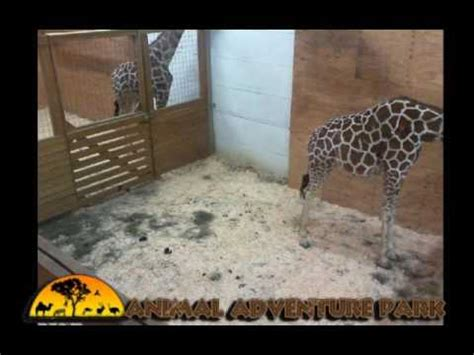 April Adventure Animal Park Giraffe Cam