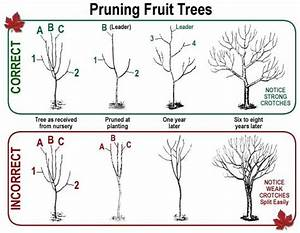 Don U2019t Be Afraid To Heavily Prune Your Fruit Trees