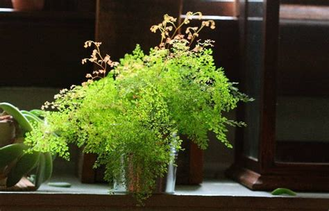 low light ferns adiantum pubescens maidenhair fern indoor low light plants pi