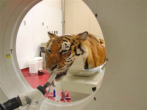 ct scan   tiger   vets pet clinic animals
