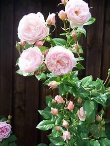 ausblush english rose buy at agel rosen With katzennetz balkon mit rose garden parfum