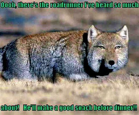 coyote funny animal humor photo  fanpop