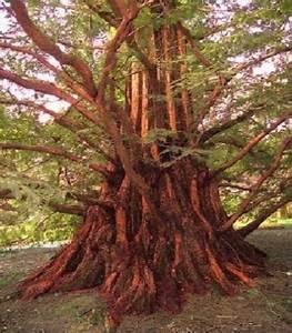 Schöne Bäume Für Garten : urwelt mammutbaum winterharte exotische b ume f r drau en den garten dekoideen ebay ~ Eleganceandgraceweddings.com Haus und Dekorationen