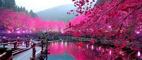 Beautiful Sceneries Of Nature For Wallpaper Le Cerisier à Fleurs Japonais Sakura Jardinot