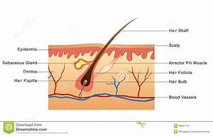 Diagram And Label Of The Structure Of The Skin - Anatomy ...