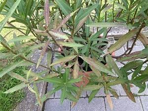 Oleander Draussen überwintern : oleander bekommt rostige bl tter mein sch ner garten forum ~ Eleganceandgraceweddings.com Haus und Dekorationen